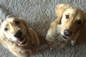 Golden Retriever Manners training, Durango CO