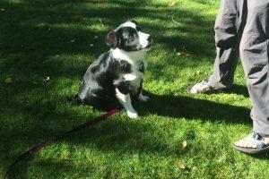 Puppy training in Durango