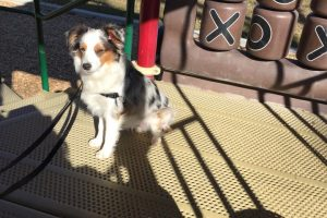 Mini Aussie dog training, Farmington, NM