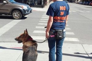 German Shepard in Training - leash walking
