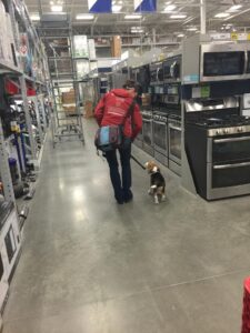 Beagle Shopping Excursion