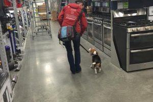 Beagle Shopping Excursion