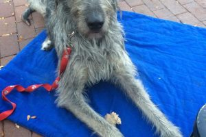 Irish Wolf Hound in Durango Obedience Training with Gentle Canine