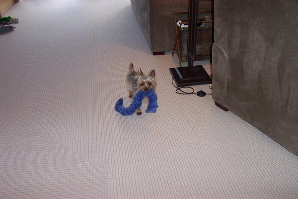 Yorkie manners training
