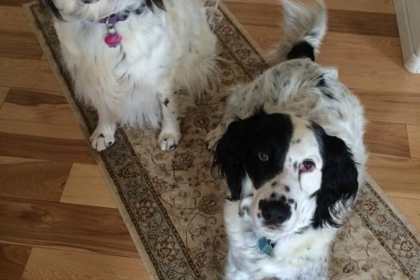 English setter dog training, Durango CO